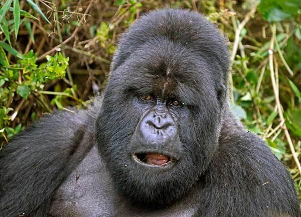 Fotoreise_Fotosafari_Fotoworkshop_Benny-Rebel_Afrika_Z-Ruanda_062_Gorilla