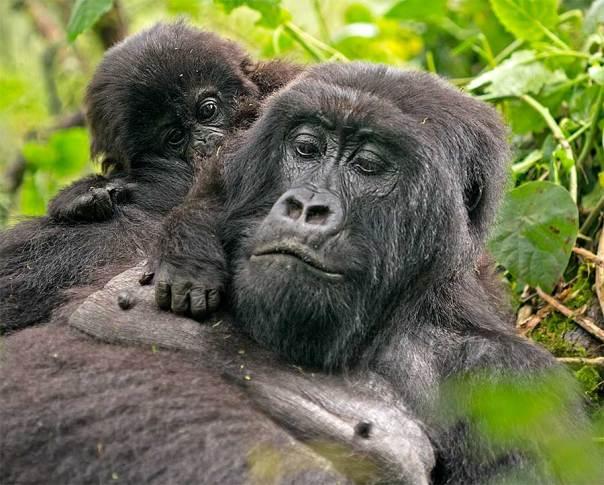 Fotoreise_Fotosafari_Fotoworkshop_Benny-Rebel_Afrika_Z-Ruanda_066_Gorilla