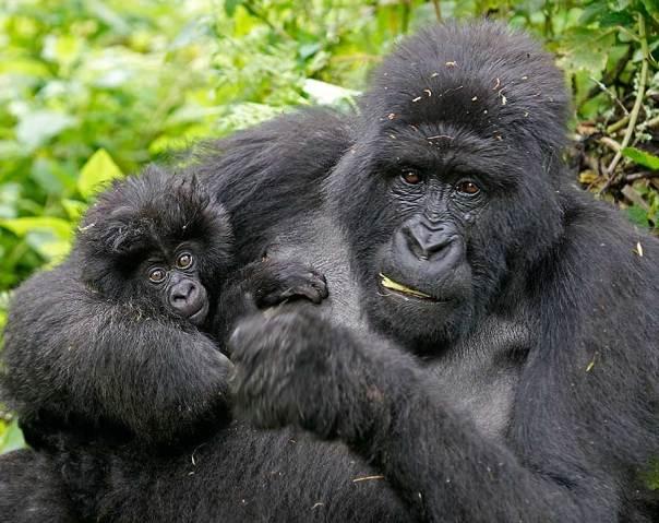 Fotoreise_Fotosafari_Fotoworkshop_Benny-Rebel_Afrika_Z-Ruanda_070_Gorilla