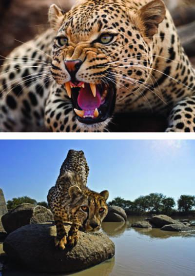 »Links oben: Der fauchende Leopard war beim Fressen. Der Geruch von Blut und Fleisch macht die Raubkatzen aggressiv, und das muss ein Tierfotograf wissen, um erstens länger am Leben zu bleiben und zweitens zur richtigen Zeit zu solchen Aufnahmen zu kommen.