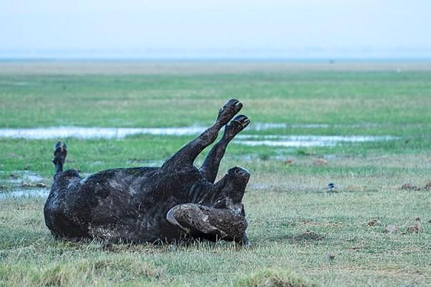 Bueffel-Lake-Amboseli-Fotoreise-Fotosafari_Kenia-DSC4474