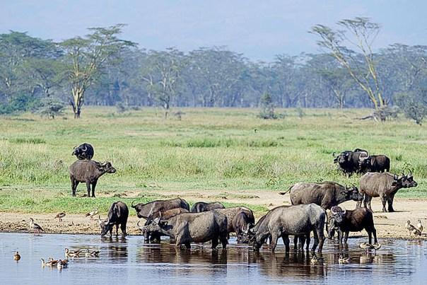 Bueffel-Lake-Nakuru-Fotoreise-Fotosafari_Afrika_DSC4885