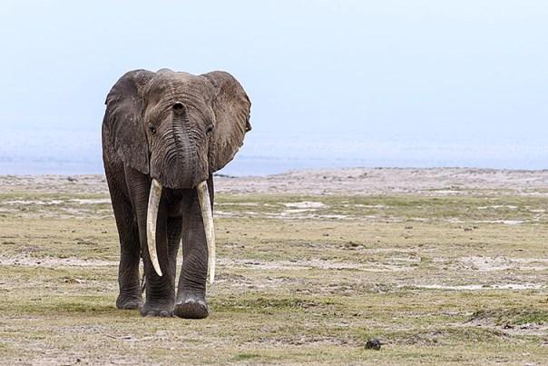 Elefant-Lake-Amboseli-Fotoreise-Fotosafari_Afrika_DSC4272