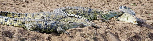 Krokodile-Masai-Mara-Fotoreise-Fotosafari_Kenia_DSC6251