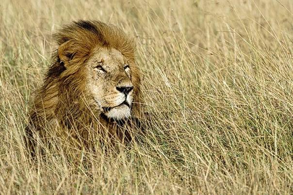 Loewe-Masai-Mara-Fotoreise-Fotosafari_Kenia_DSC7318