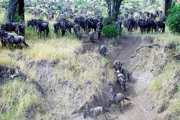Migration-Masai-Mara-Fotoreise-Fotosafari_Kenia_DSC5992