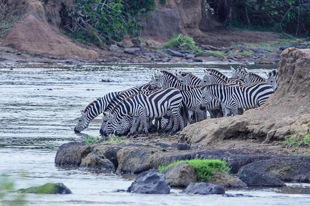 Migration-Masai-Mara-Fotoreise-Fotosafari_Kenia_DSC6237