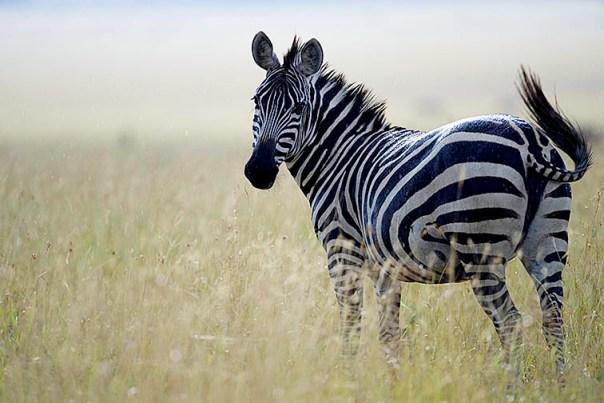 Zebra-Lake-Nakuru-Fotoreise-Fotosafari_Afrika_DSC5210