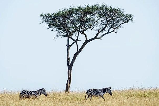 Zebras-Masai-Mara-Fotoreise-Fotosafari_Kenia-_DSC5369
