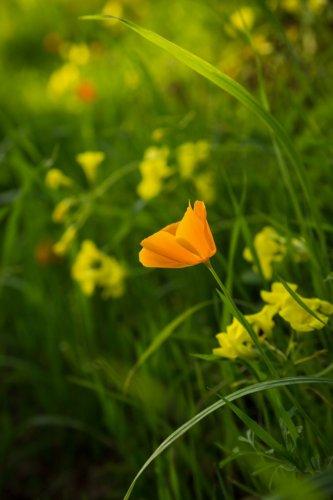 poppy_1590