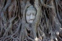Tête de Buddha dans les racines