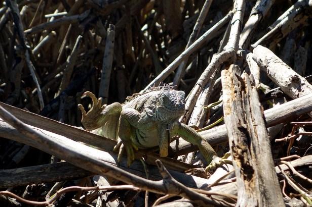 Les iguanes sortent de partout