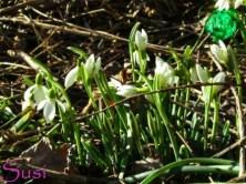Frühling Schneeglöckchen 2014