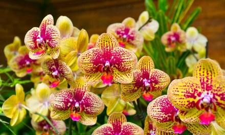 Es Blüht so schön [Kurztipps zur Orchideenpflege]