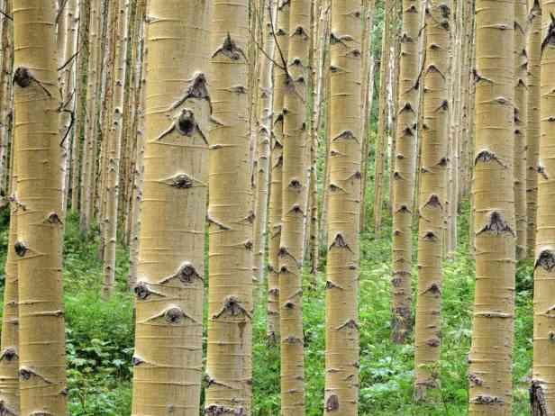 Stand of Aspens, Colorado Rockies