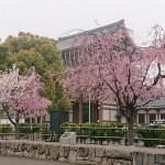 名古屋市 東別院の桜