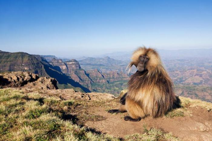 Gelada monkeys, which only live in the Simien Mountains, are a completely intriguing species. They're the only grass-grazing monkeys left, and of all primates, have one of the most varied range of sounds, from high-pitched cries to gurgling that sounds almost like human speech.