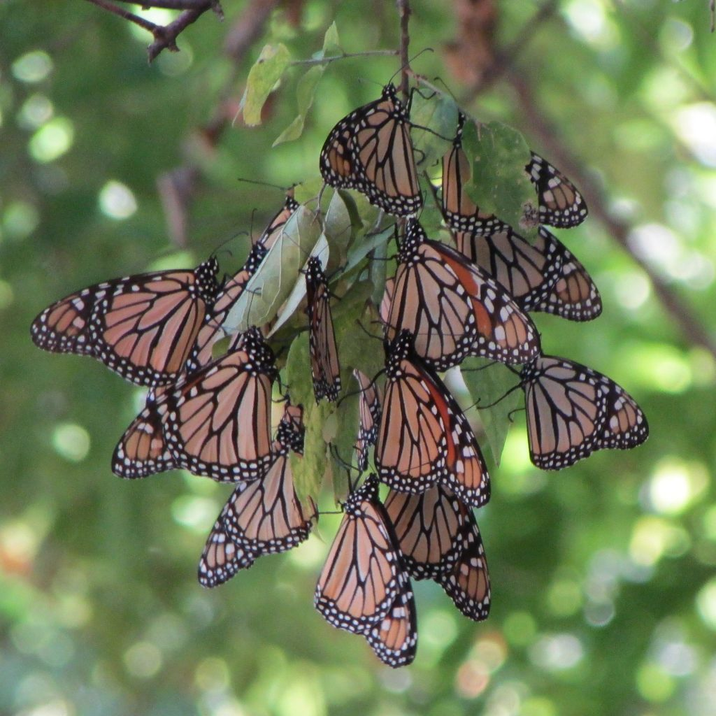 Mighty Monarch Butterflies Brave South Winds Hurricane