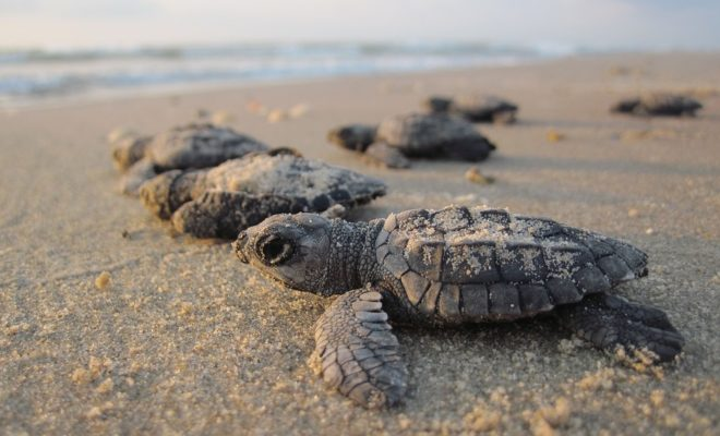 Image result for kemp's ridley hatchling south padre