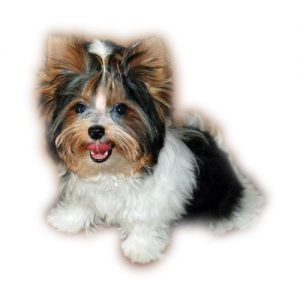 Texas Premier Yorkies – Traditional and Parti Colored Yorkies