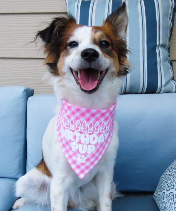 Texas Pet Co Birthday Dog Bandana Model TPCBANBPT26CK