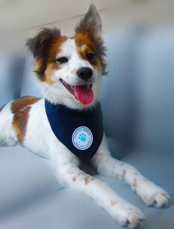 Texas Pet Company Official Brand Seal Logo Dog Bandana Model