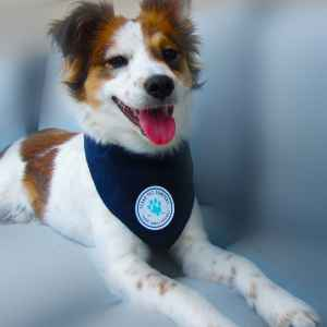 Texas Pet Company Official Brand Seal Logo Dog Bandana Model