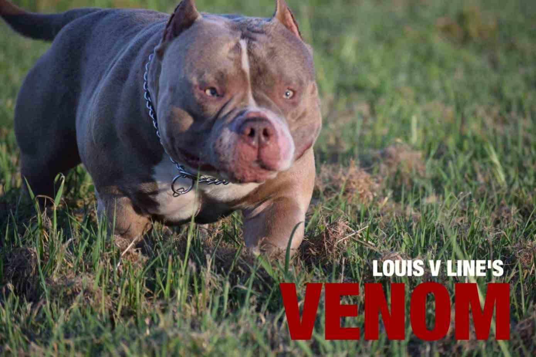 ABKC Bully Bash- Vero Beach, FL   Venomline   Texas Size Bullies