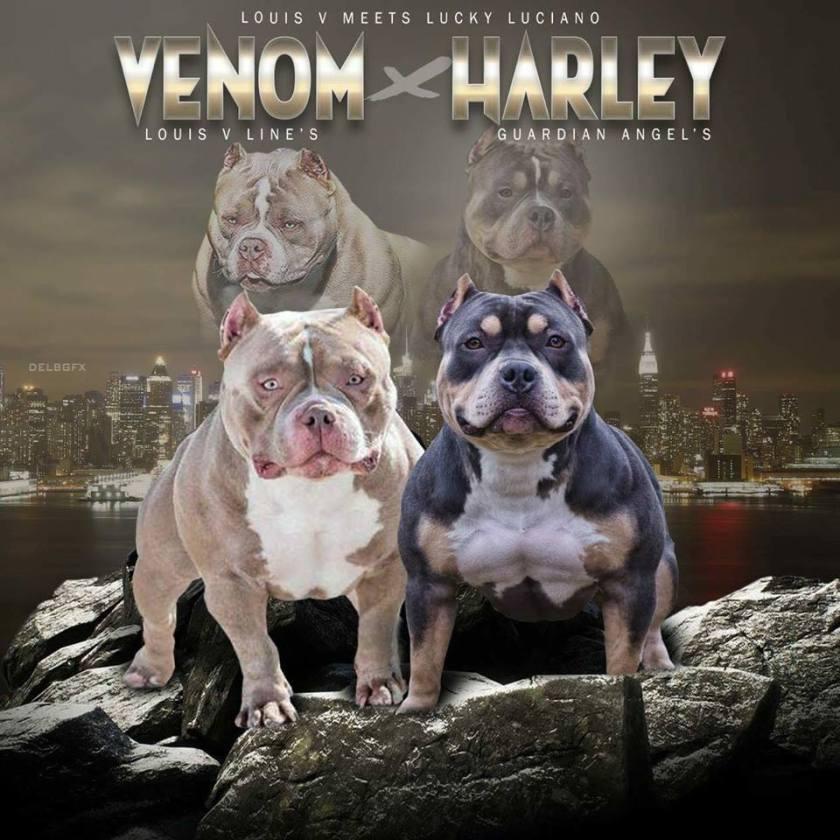 Best American Bully Breeders | Best Pocket American Bully | Venomline