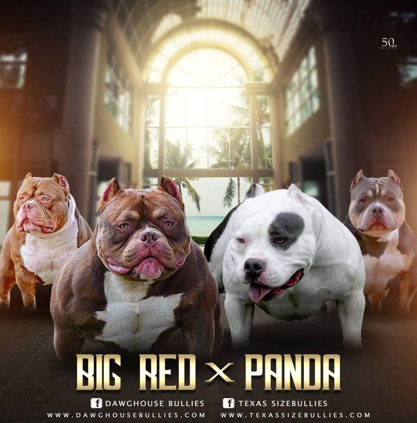 Big Red X Panda | Pocket American Bully Puppies for Sale | Venomline