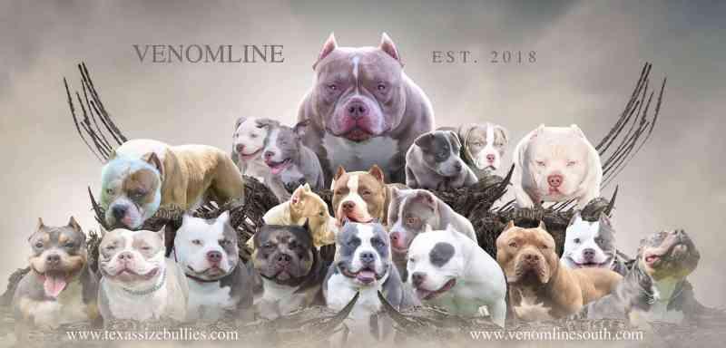 , VENOMLINE'S RAMPAGE   10 MONTH OLD POCKET BULLY PHENOM   2X VENOM, Venomline   Texas Size Bullies