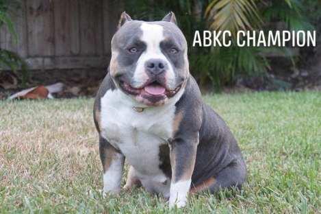 ABKC Ch Fury