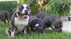 Progesterone Testing in Dogs | American Bully Breeding | Stud Service