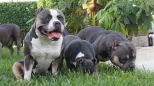 Progesterone Testing in Dogs   American Bully Breeding   Stud Service