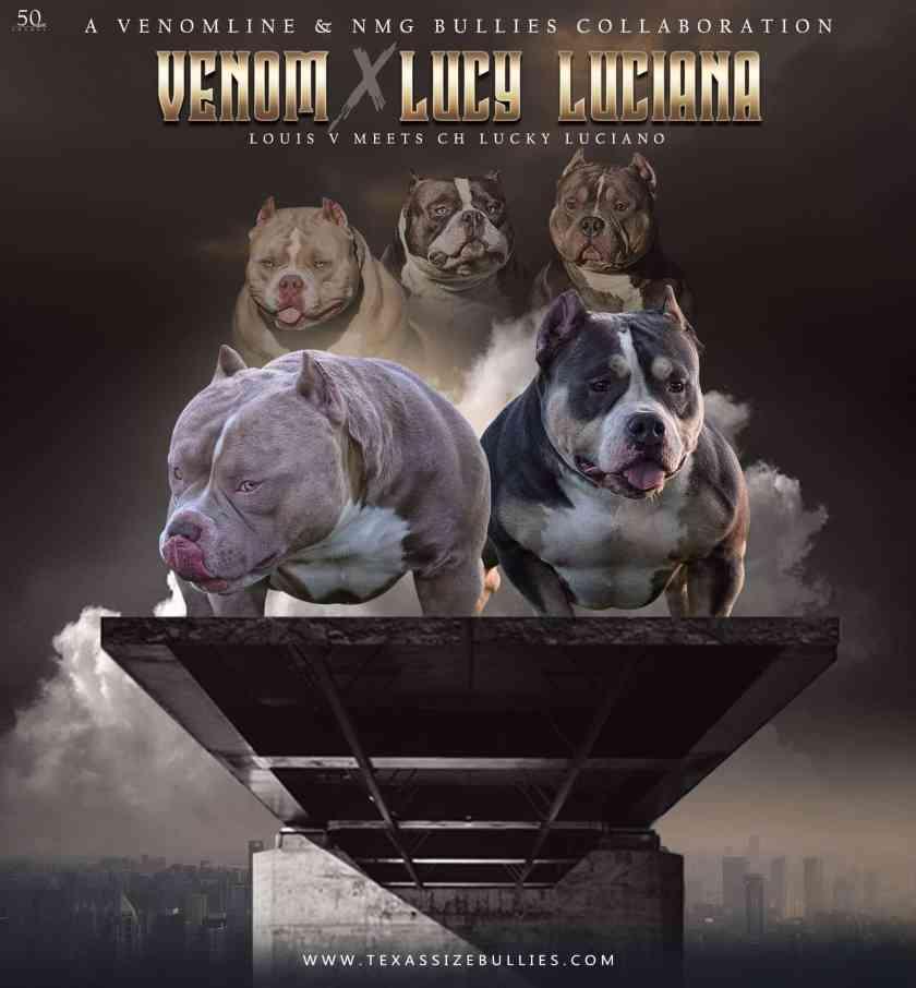 Venomline Upcoming Pocket Bully Breedings | Puppies For Sale