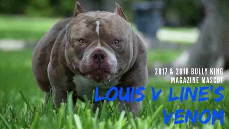 , LOUIS V LINE'S VENOM X SWIZZ   BEST POCKET BULLY PUPPIES, Venomline   Texas Size Bullies