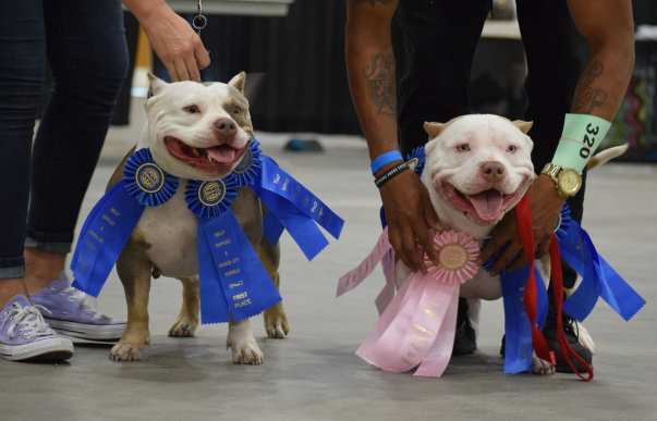ABKC Champions, ABKC Shows, Schedule, Events, Pocket American Bully, Kennels, Breeders