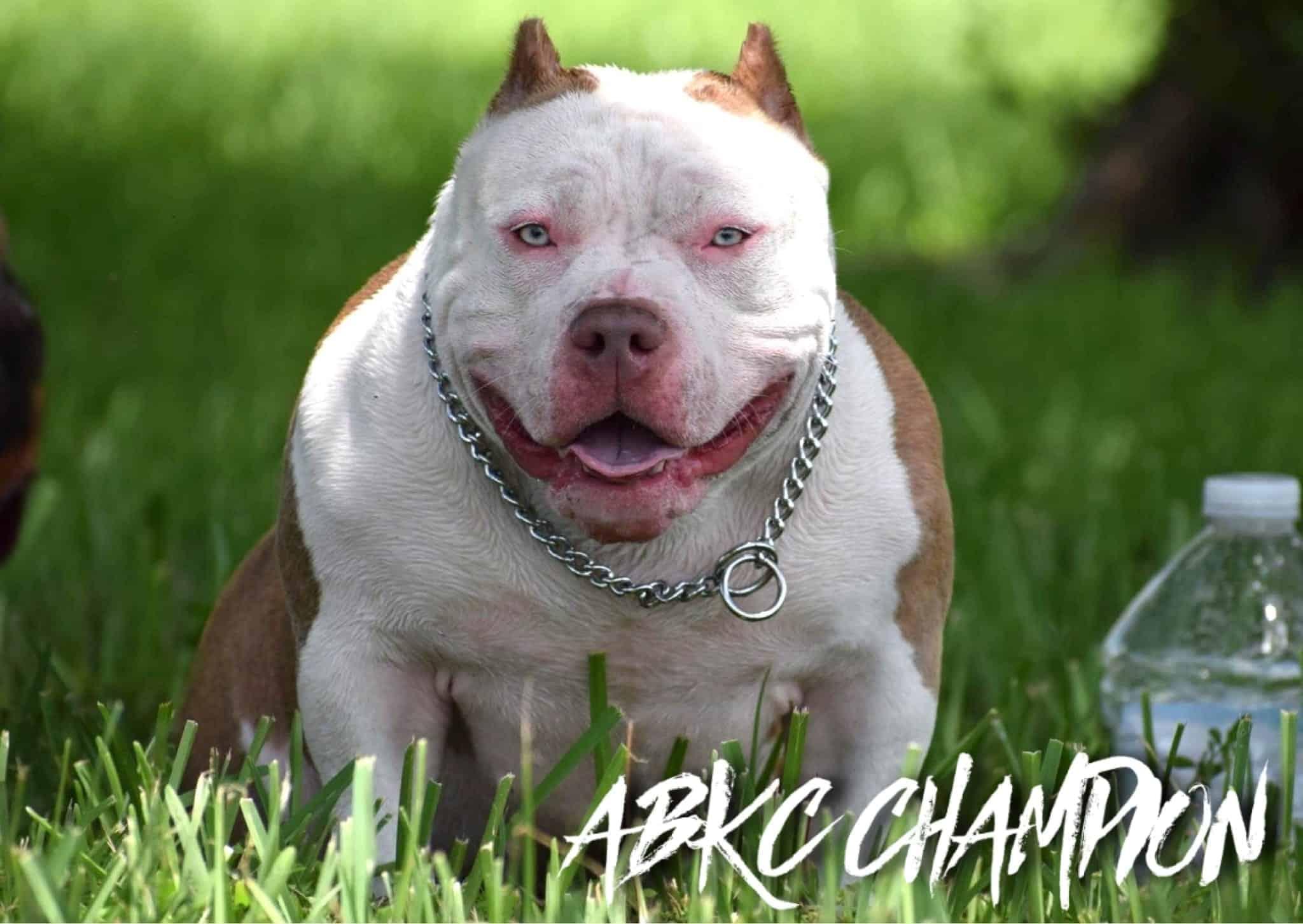 Best American Bully Bloodline- Venomline, ABKC Champion Lil Ting
