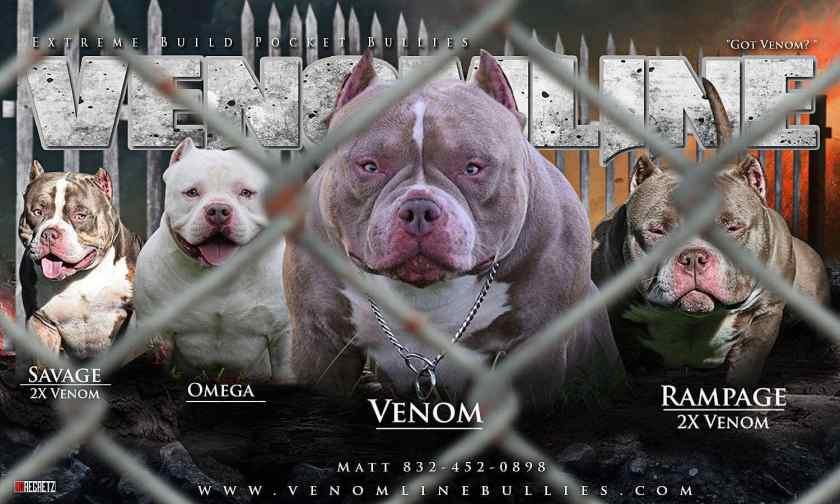 Top American Bully Bloodline Venomline