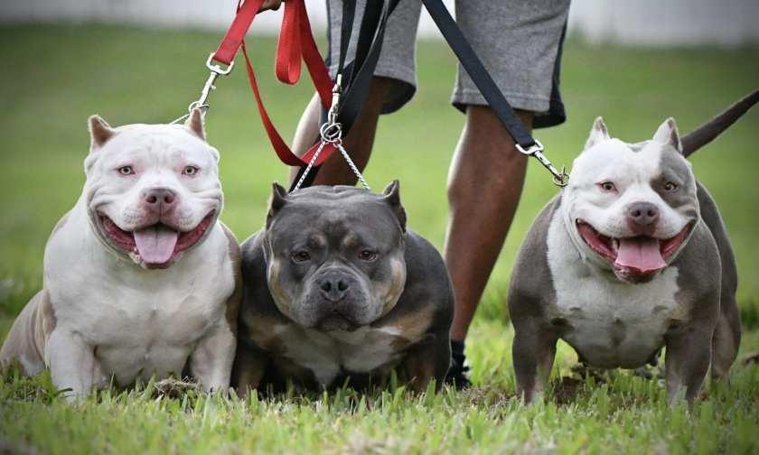 Venomline's Swizz & Lil Ting Pocket American Bully Breeders, Tri Color pocket bully puppies for sale