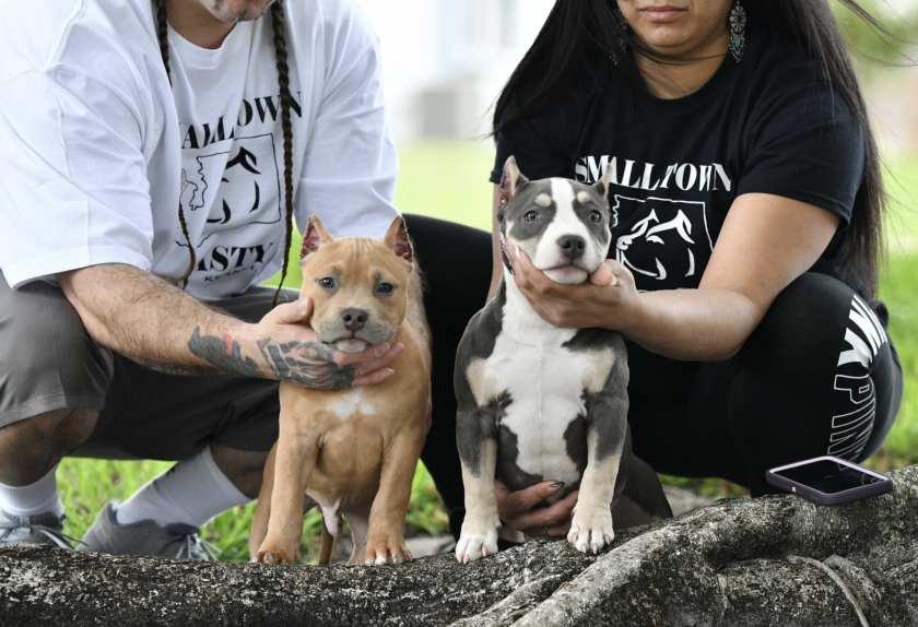 Top Pocket Bully Kennels, American Bully breeders, Venomline Bloodline