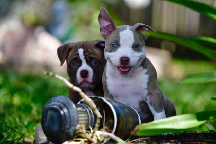 American-bully-breeders-Venomline-Pocket-Bullies