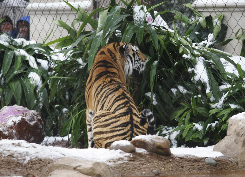 LSU's Mike the Tiger