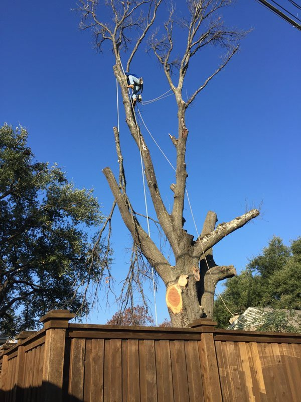 Large Tree Being Removed