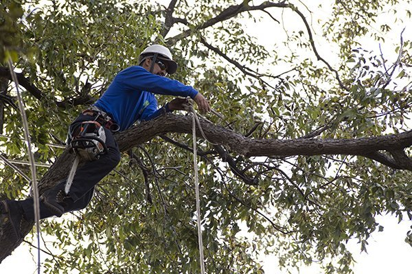 Man with rope trimming a tree