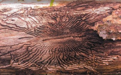 Ask Texas Tree Surgeons: Do I Need to Worry About the Emerald Ash Borer?