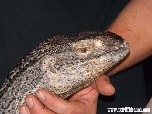Black-throat monitor