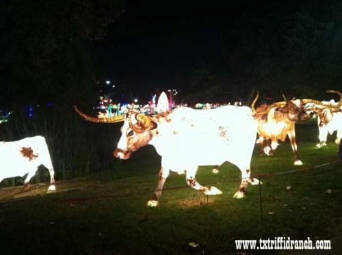 Chinese Lantern Festival - Longhorns