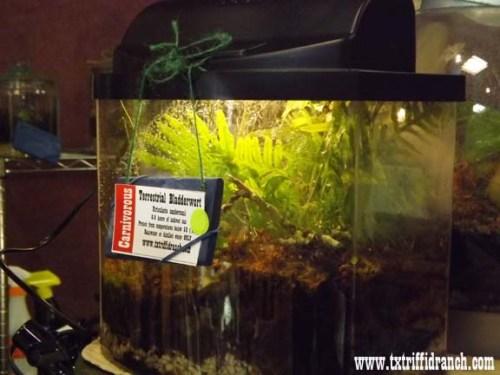Fern bladderwort arrangement