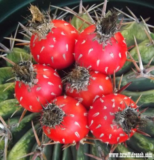 Cactus fruit on the plant
